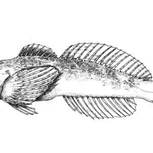 Cedar Sculpin