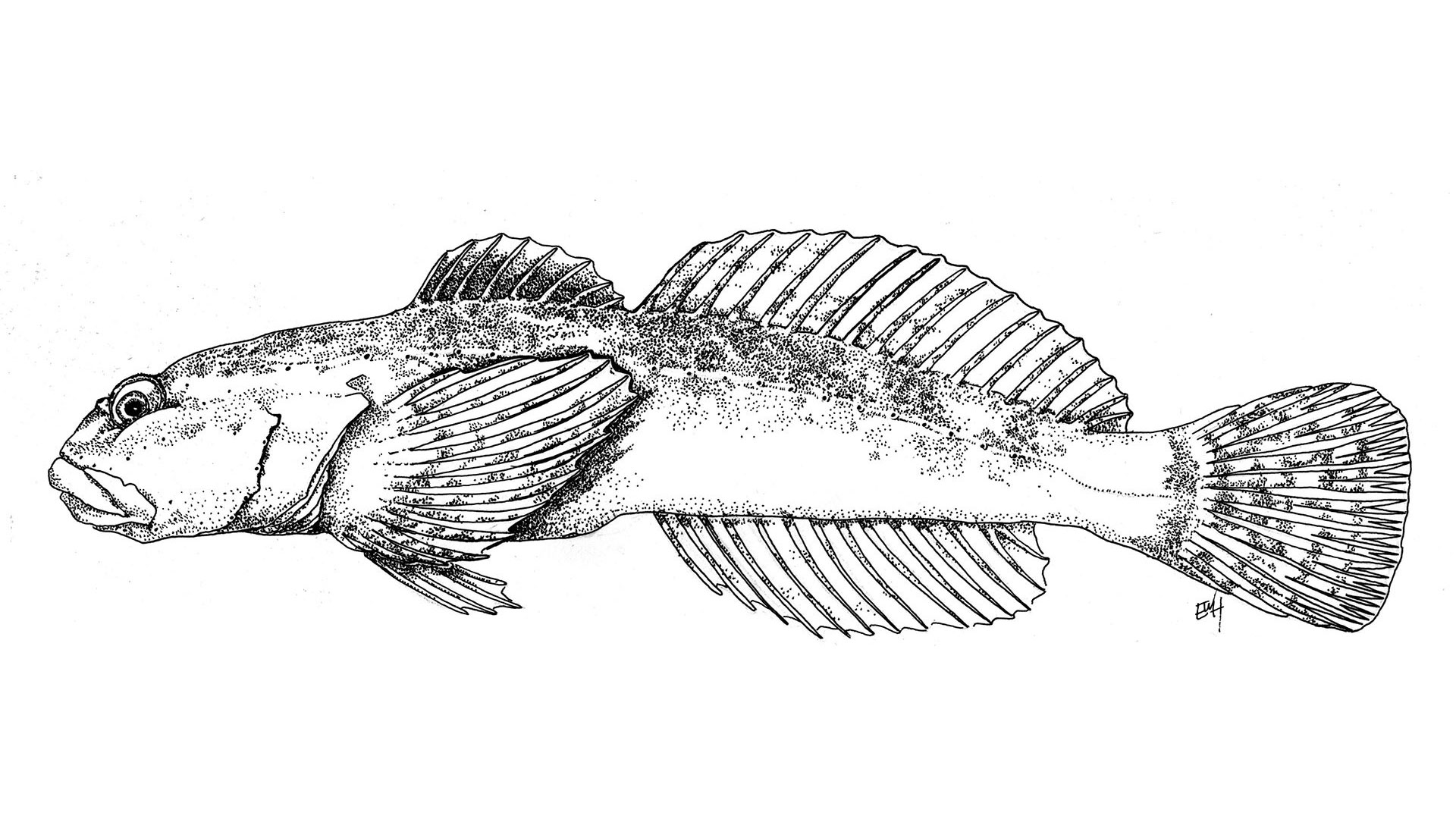 The Newly Discovered Cedar Sculpin