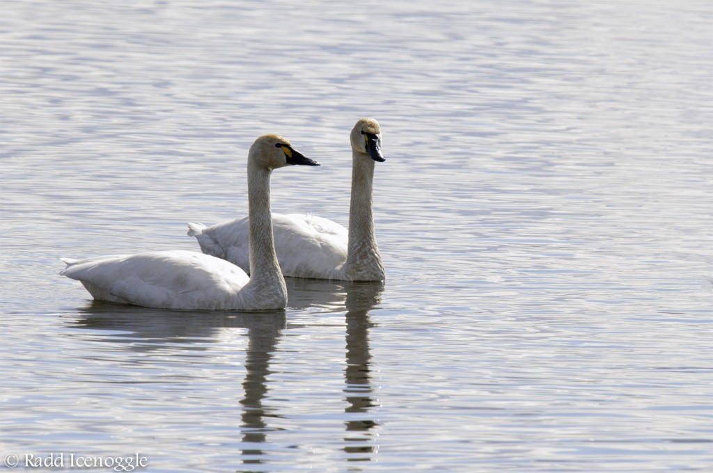 Tundra Swan pair
