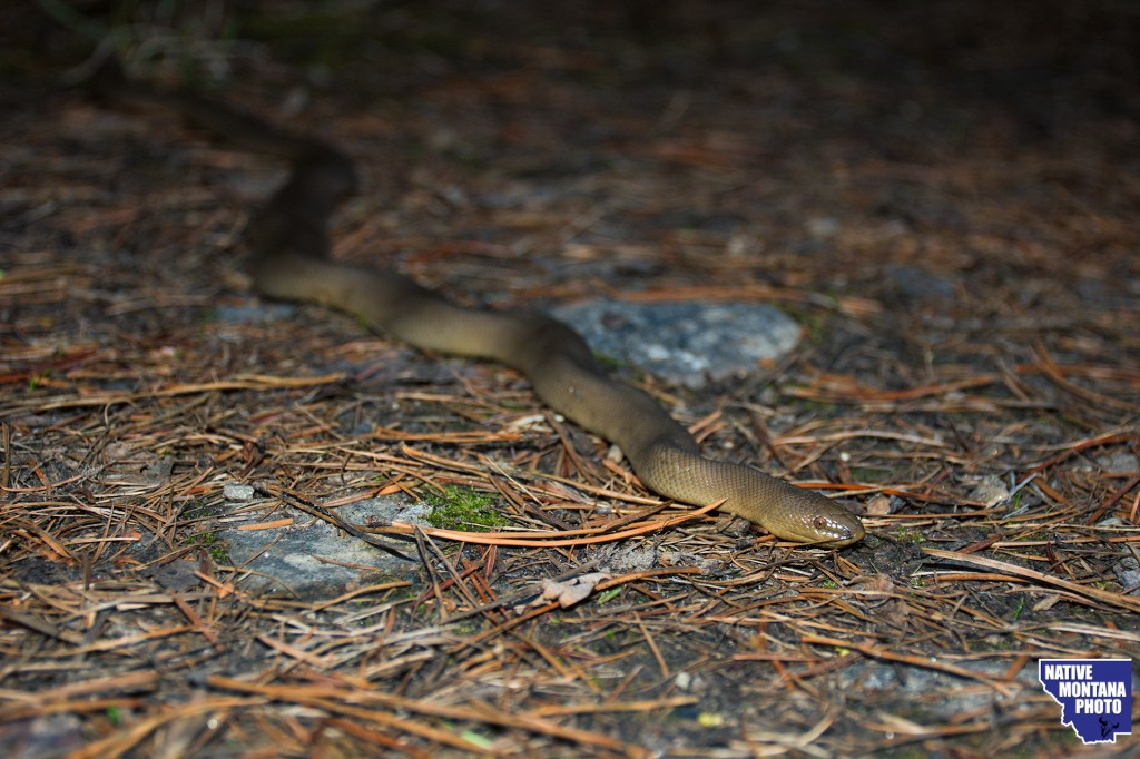 Rubber Boa from South Fork of Lolo Creek