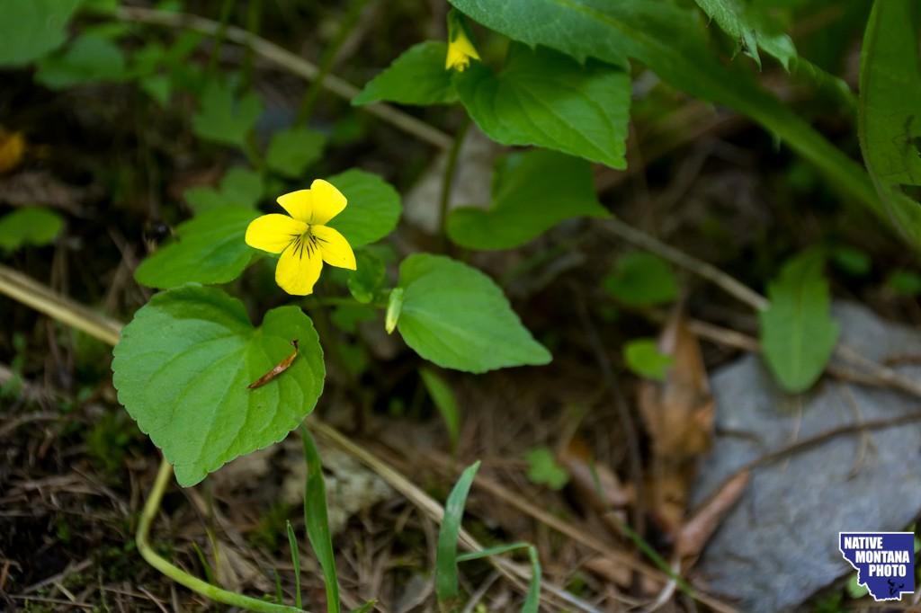 Roundleaf Violet - Viola orbiculata