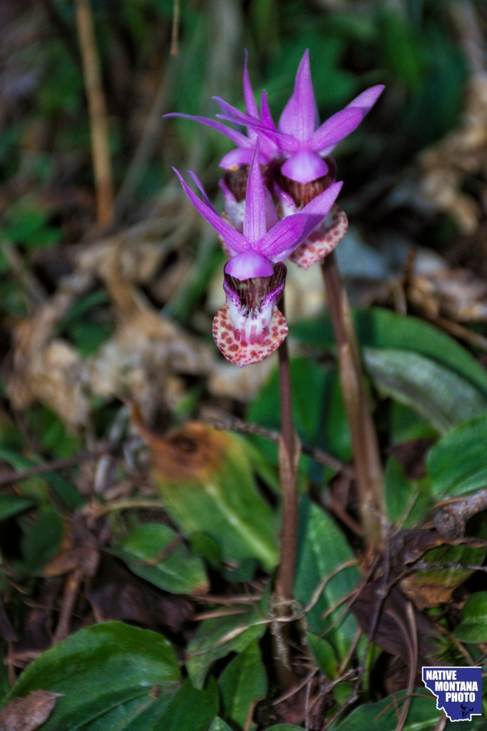 Fairyslipper - Calypso bulbosa