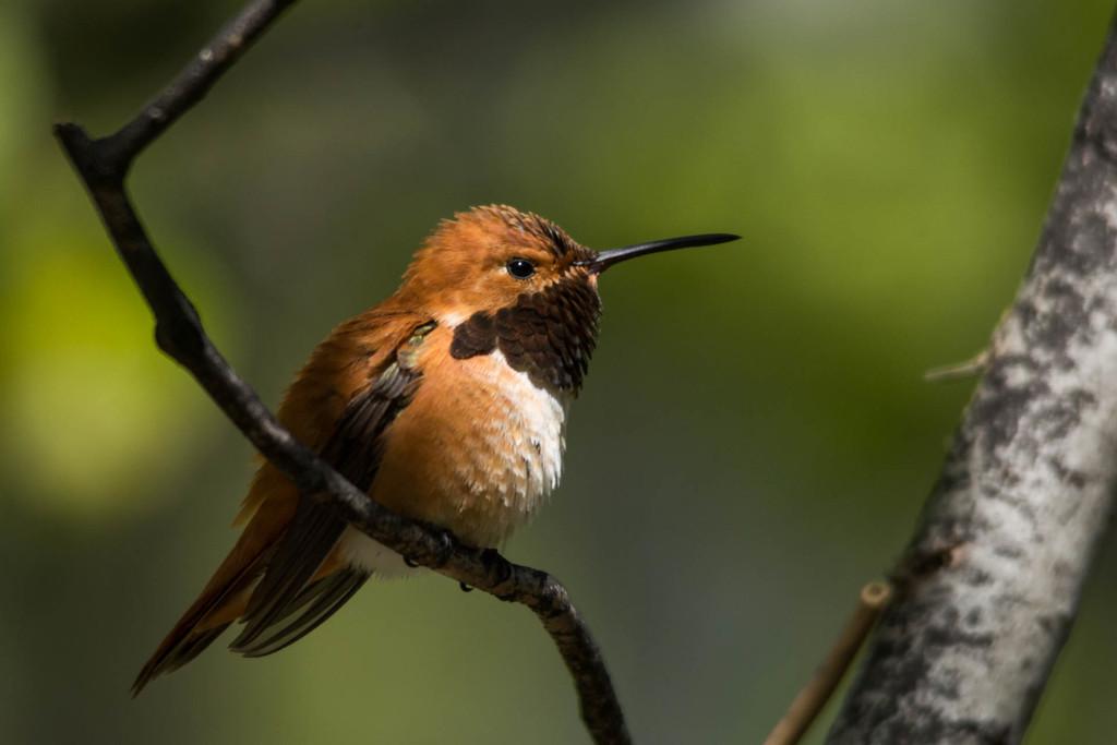 Male Rufous Hummingbird from Lochsa Lodge