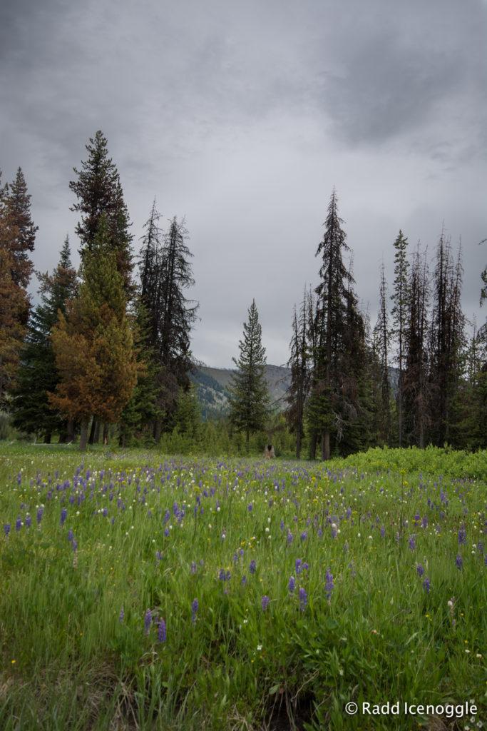 Elk Meadows Lupines and American Bistort