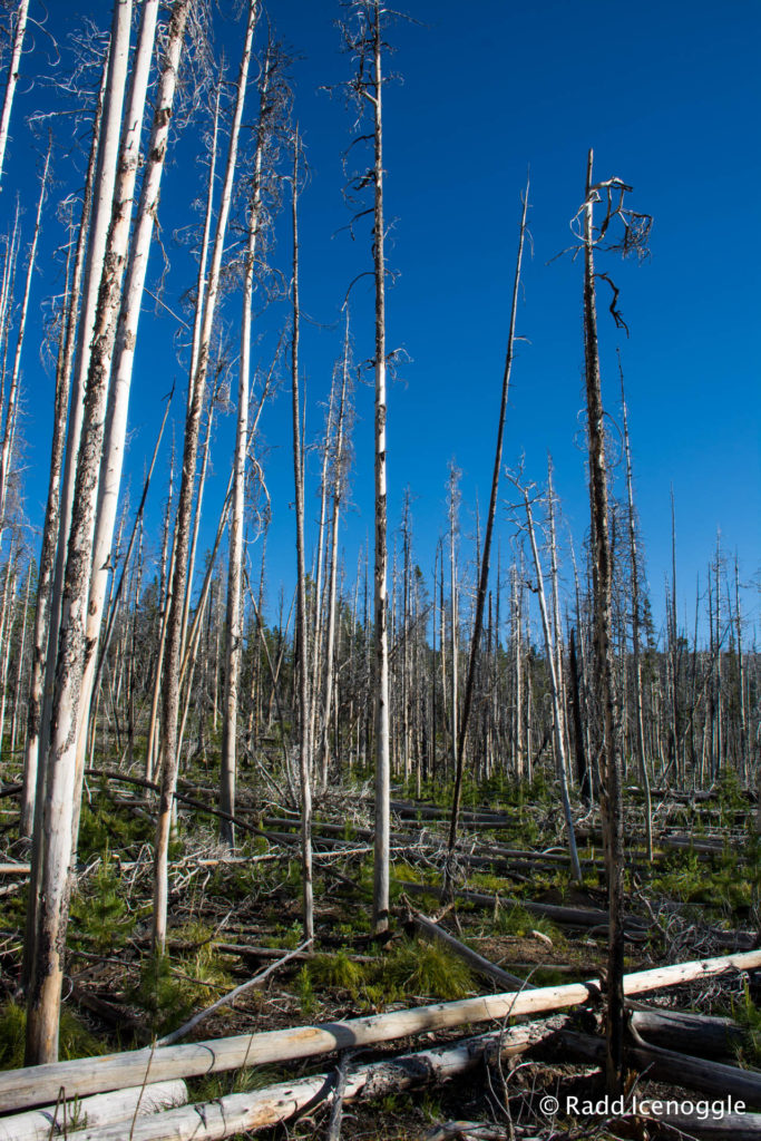 Acres and acres of standing dead lodgepole pines