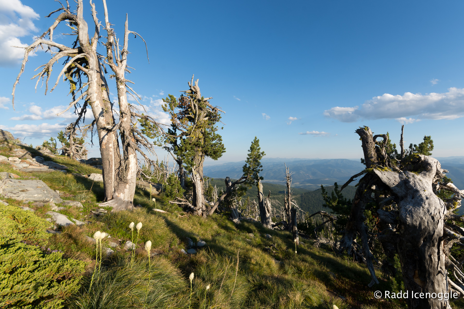 Whitebark pine in various states of living and dying