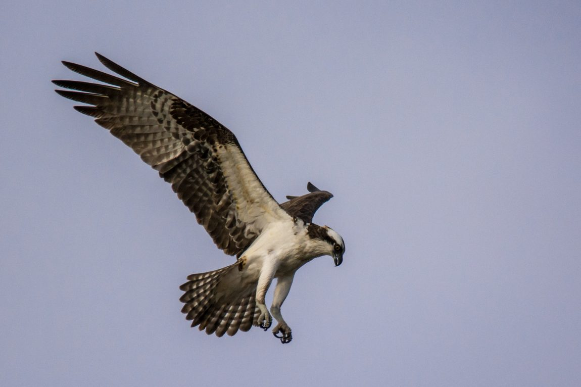 Before the dive - Osprey