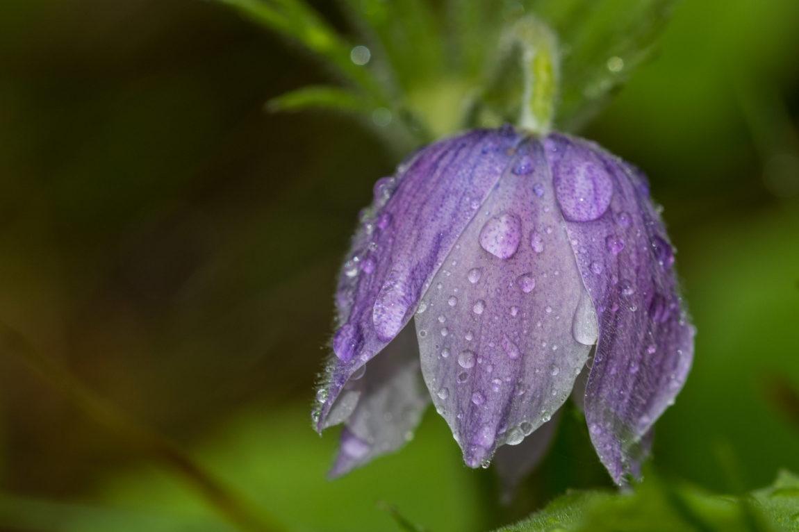 Pasqueflower in the rain