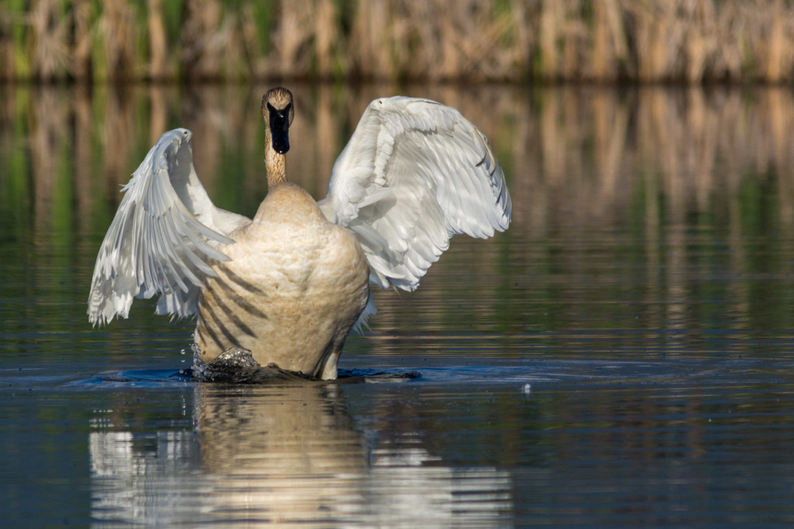 Trumpeter Swan stretching out