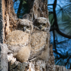 The next generation of Great Horned Owls