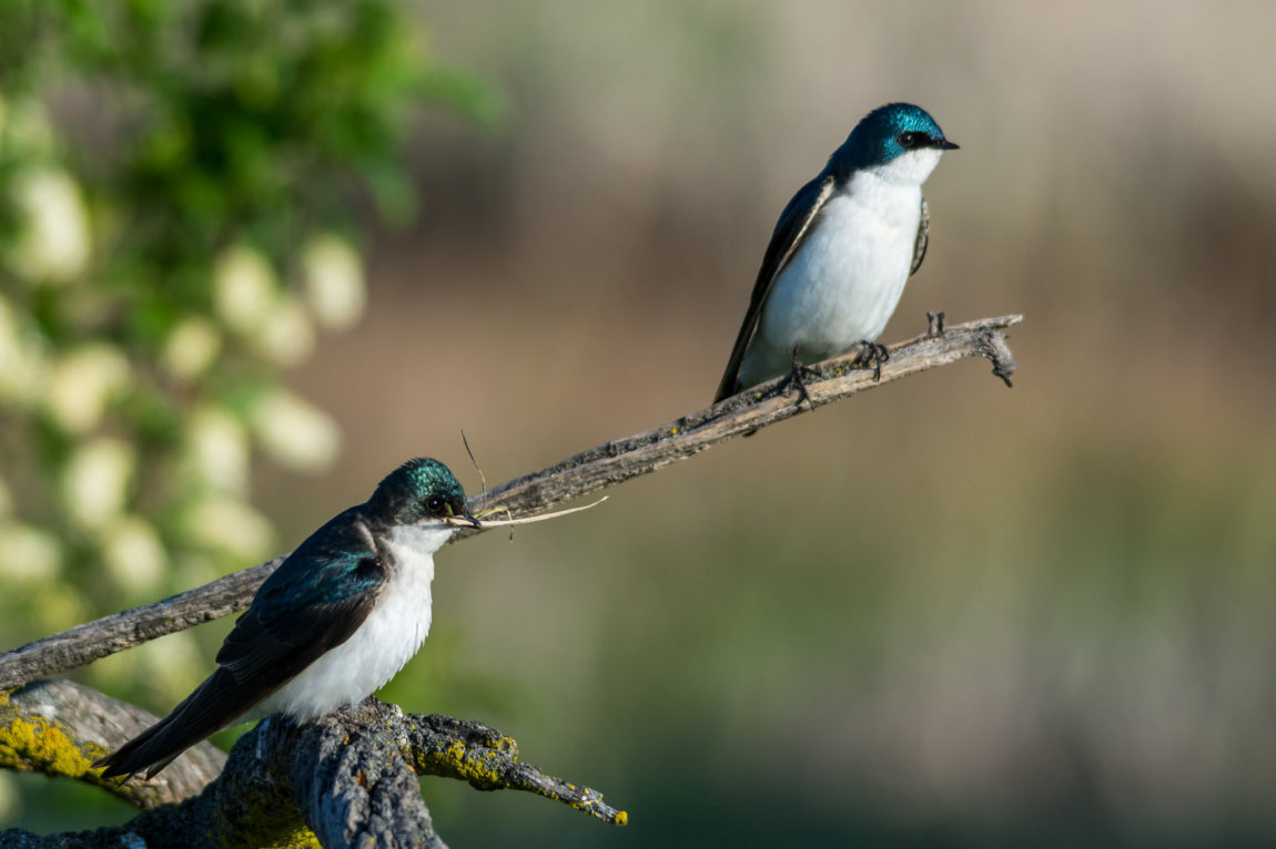 Tree Swallows setting up house