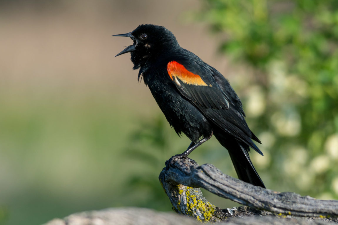 Calling Red-winged Blackbird