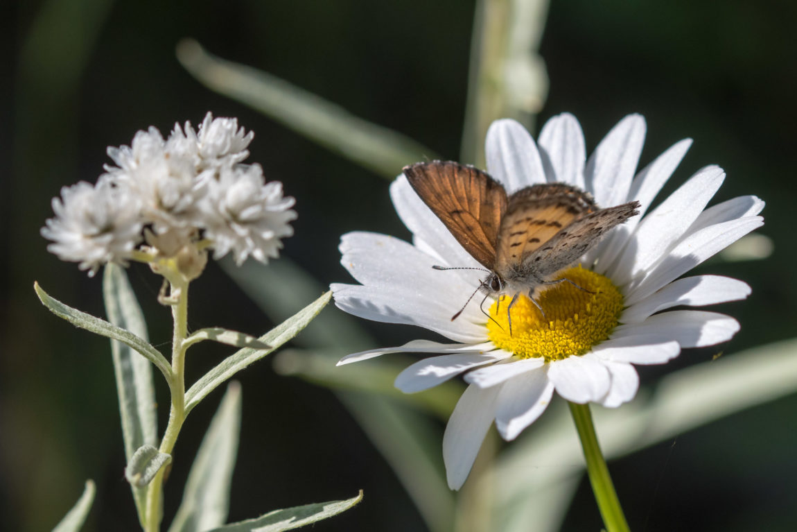Lilac-bordered Copper, (Lycaena nivalis)