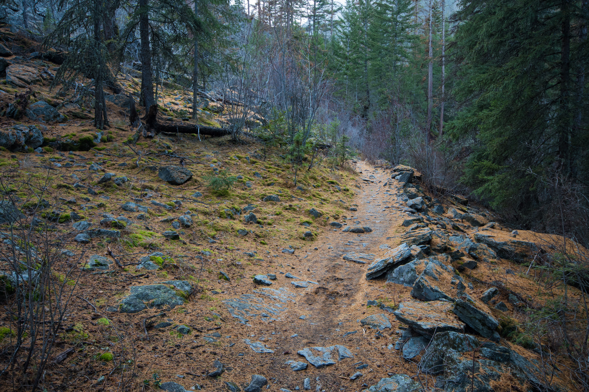 Bear Creek trail is mostly covered in larch needles