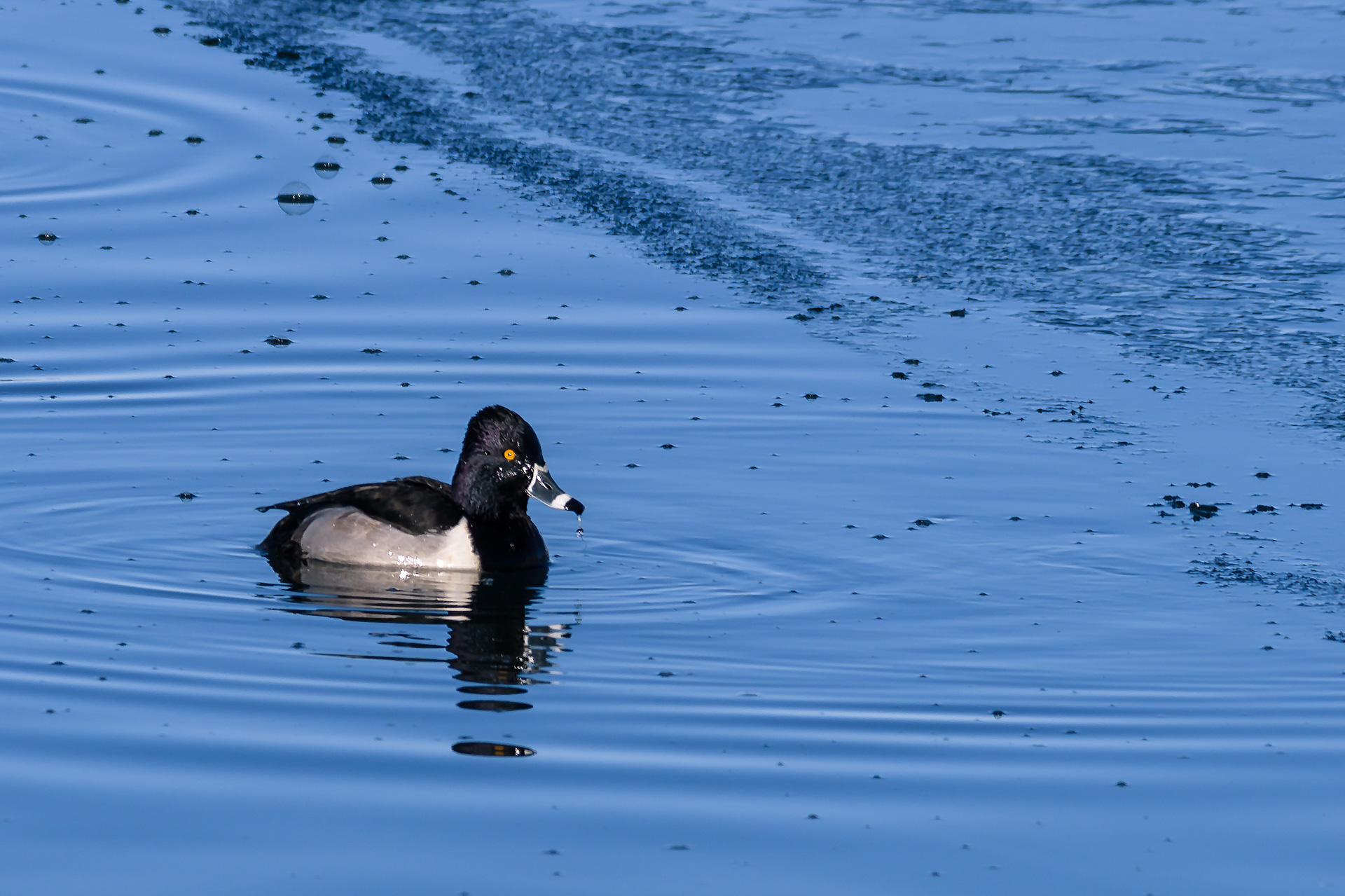 A gorgeous Ring-necked Duck drake