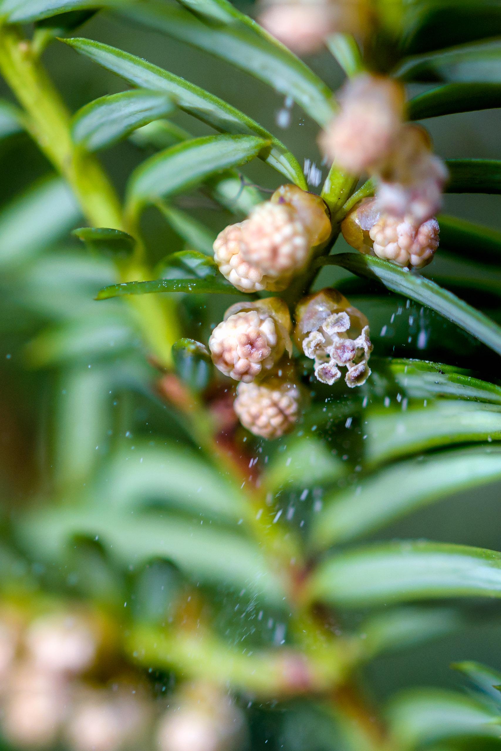Western yew releasing its pollen