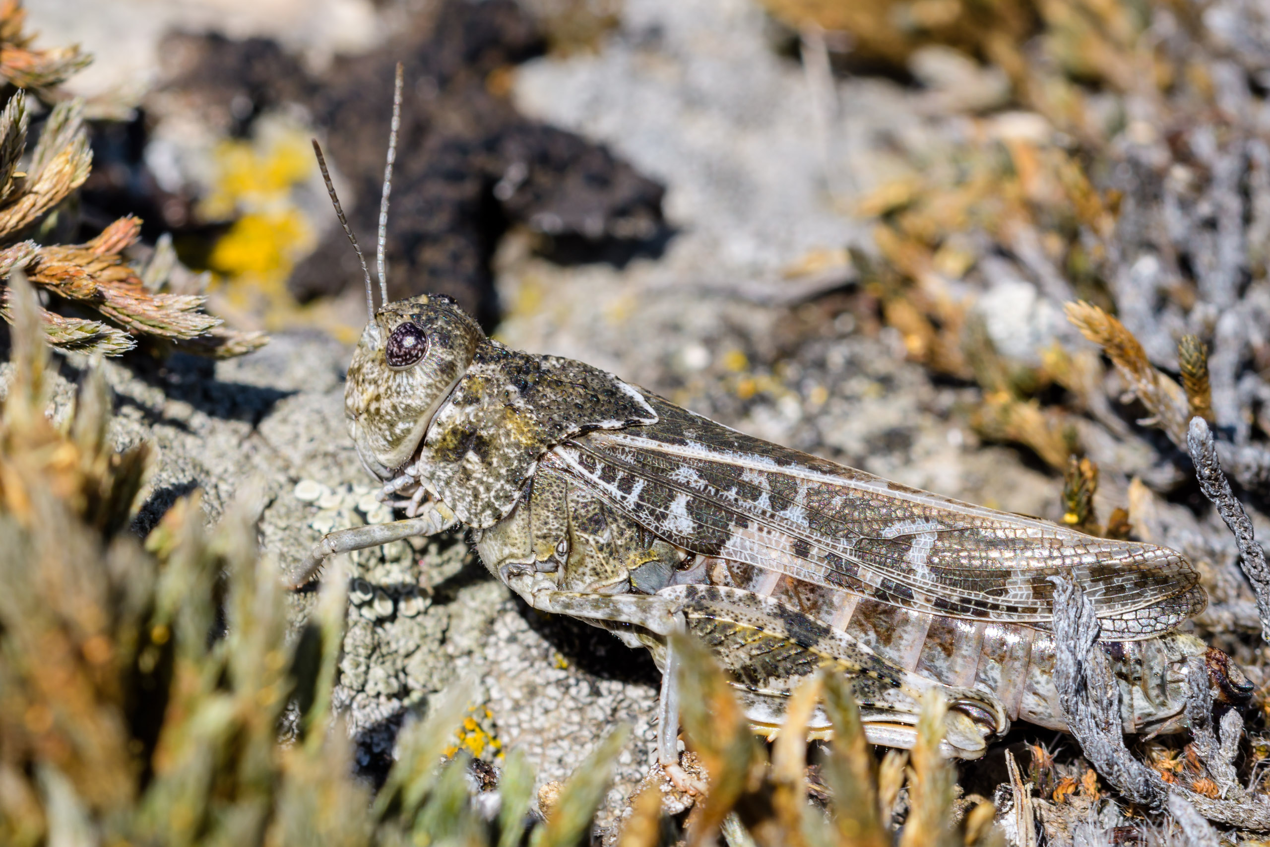 Mottled Sand Grasshopper - Spharagemon collare