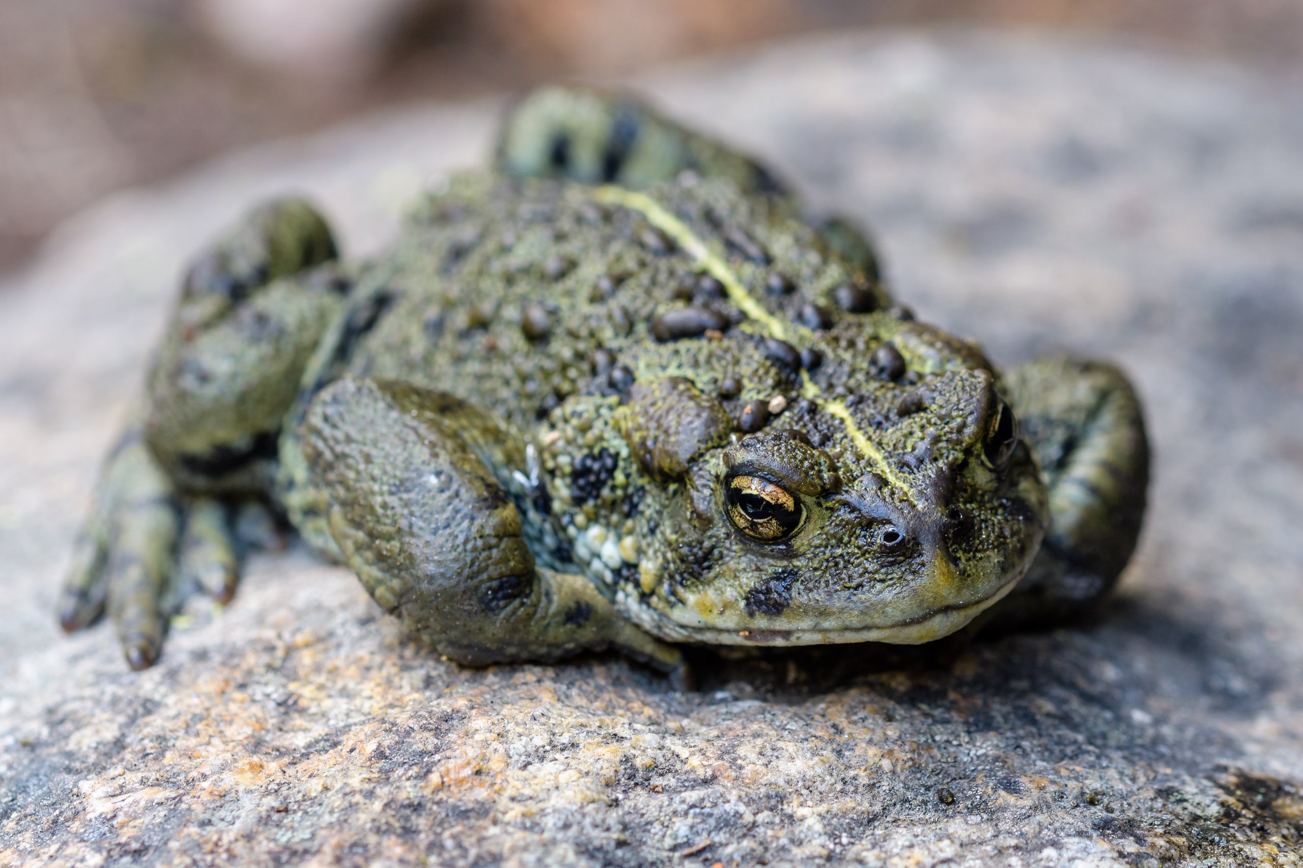 I was thinking that this Western Toad had just crossed Big Creek