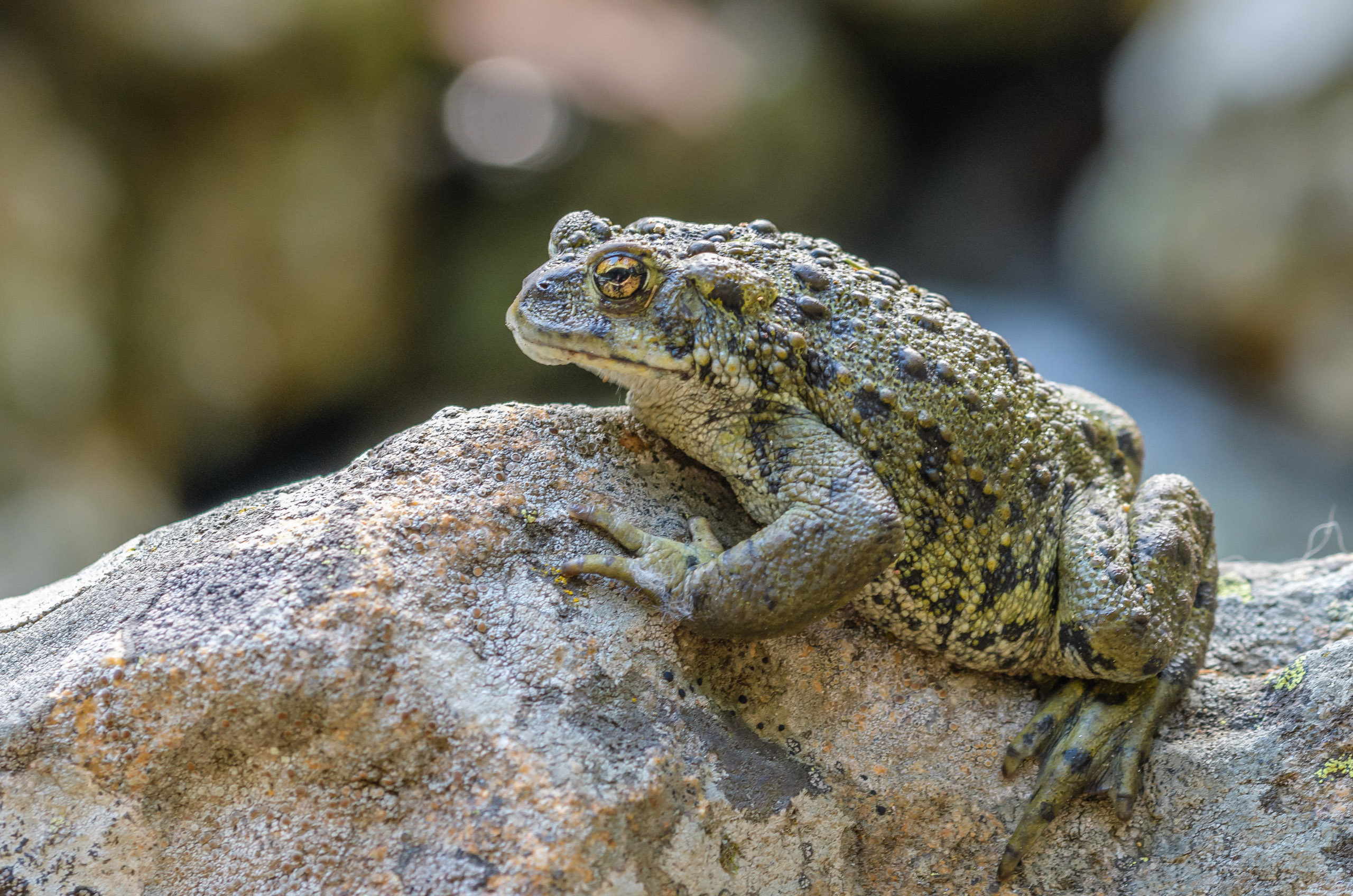 The big Western Toad stood firm along Big Creek