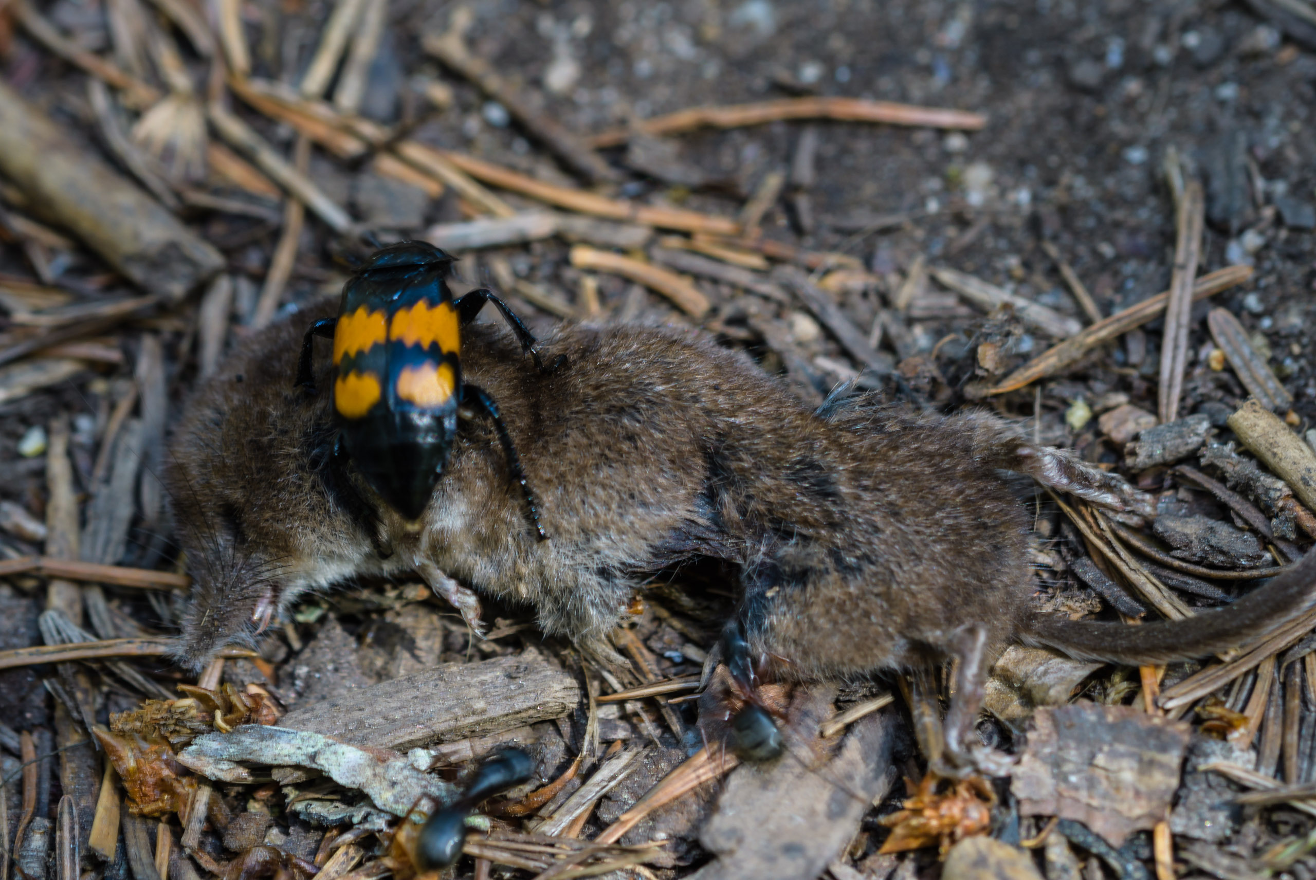 A recently passed Vagrant Shrew on a carrion beetle
