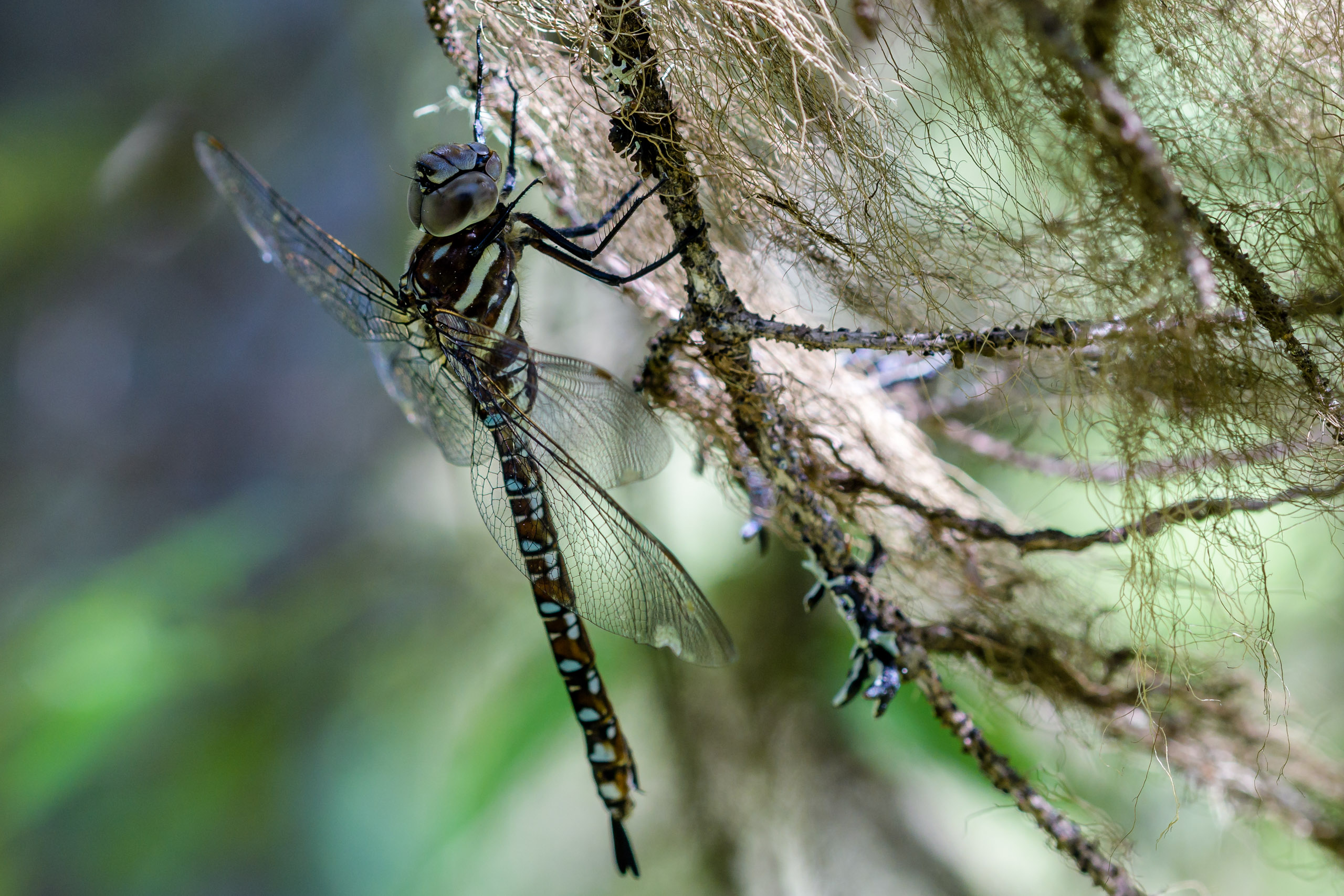 Paddle-tailed Darner (Aeshna palmata) from Big Creek, Bitterroot Mountains, Montana