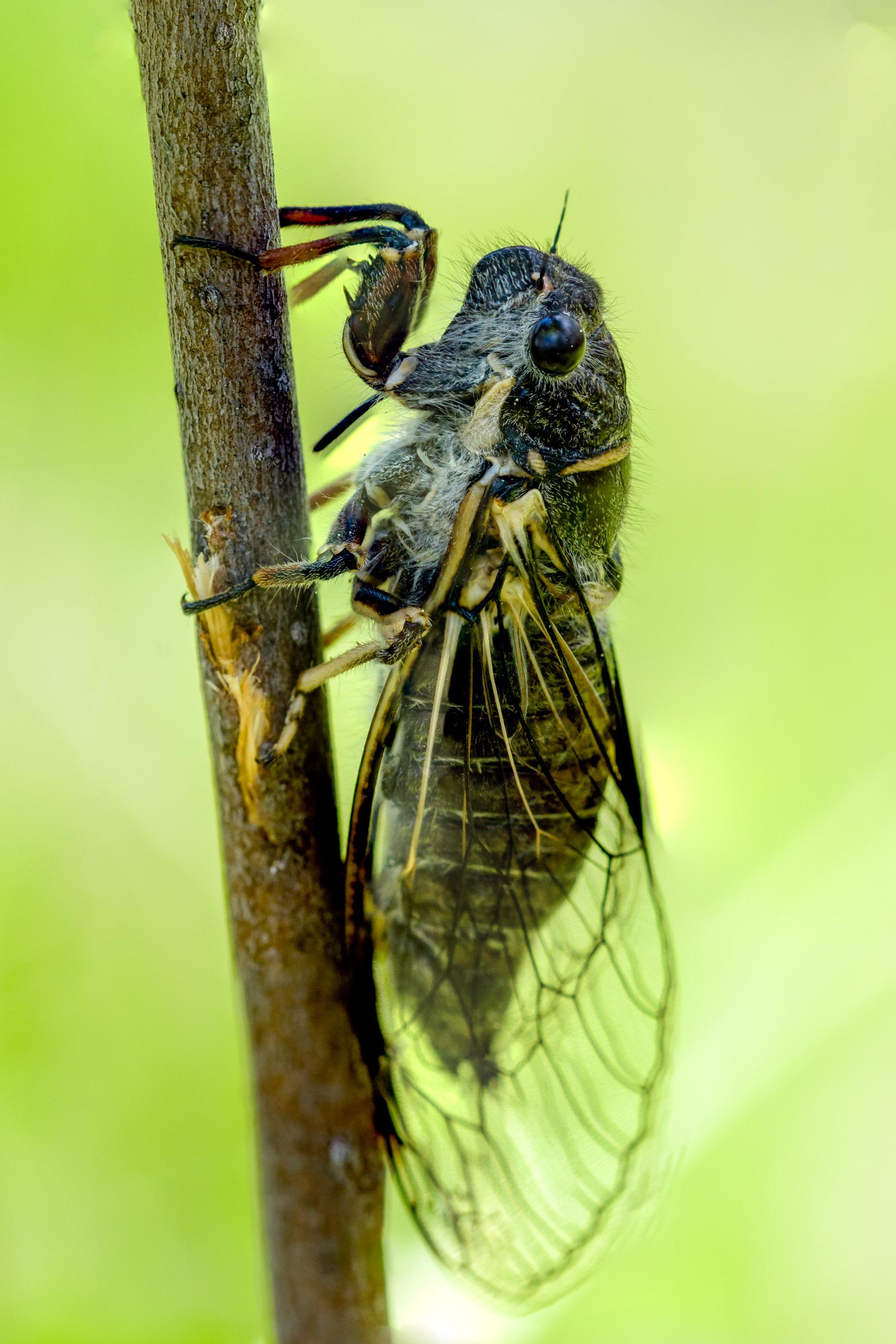 Putnam's Cicada - bio-nerd moment