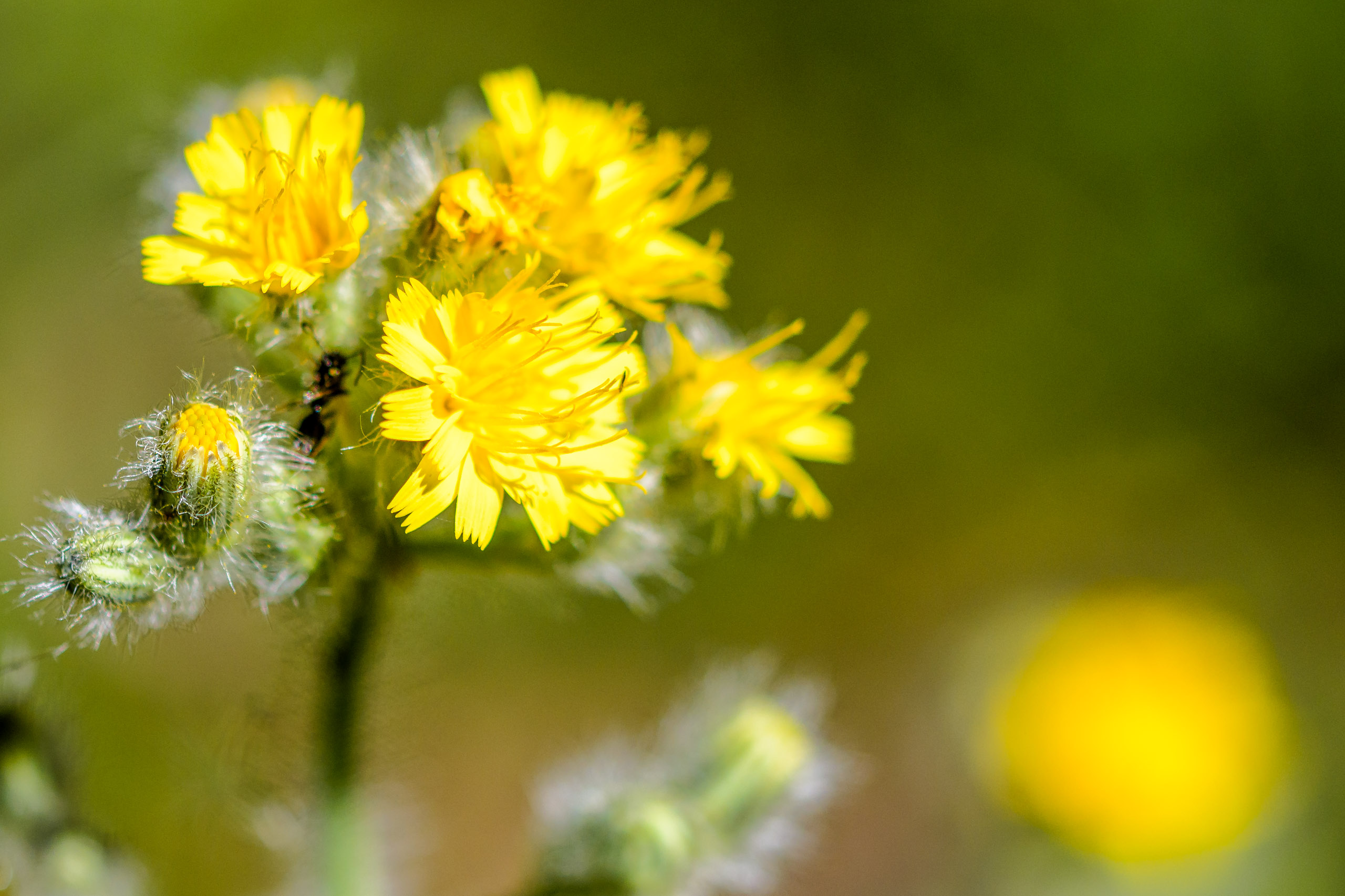 Common Groundsel - Senecio vulgaris