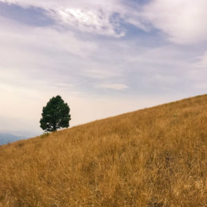 Lone ponderosa pine on the slopes above the M