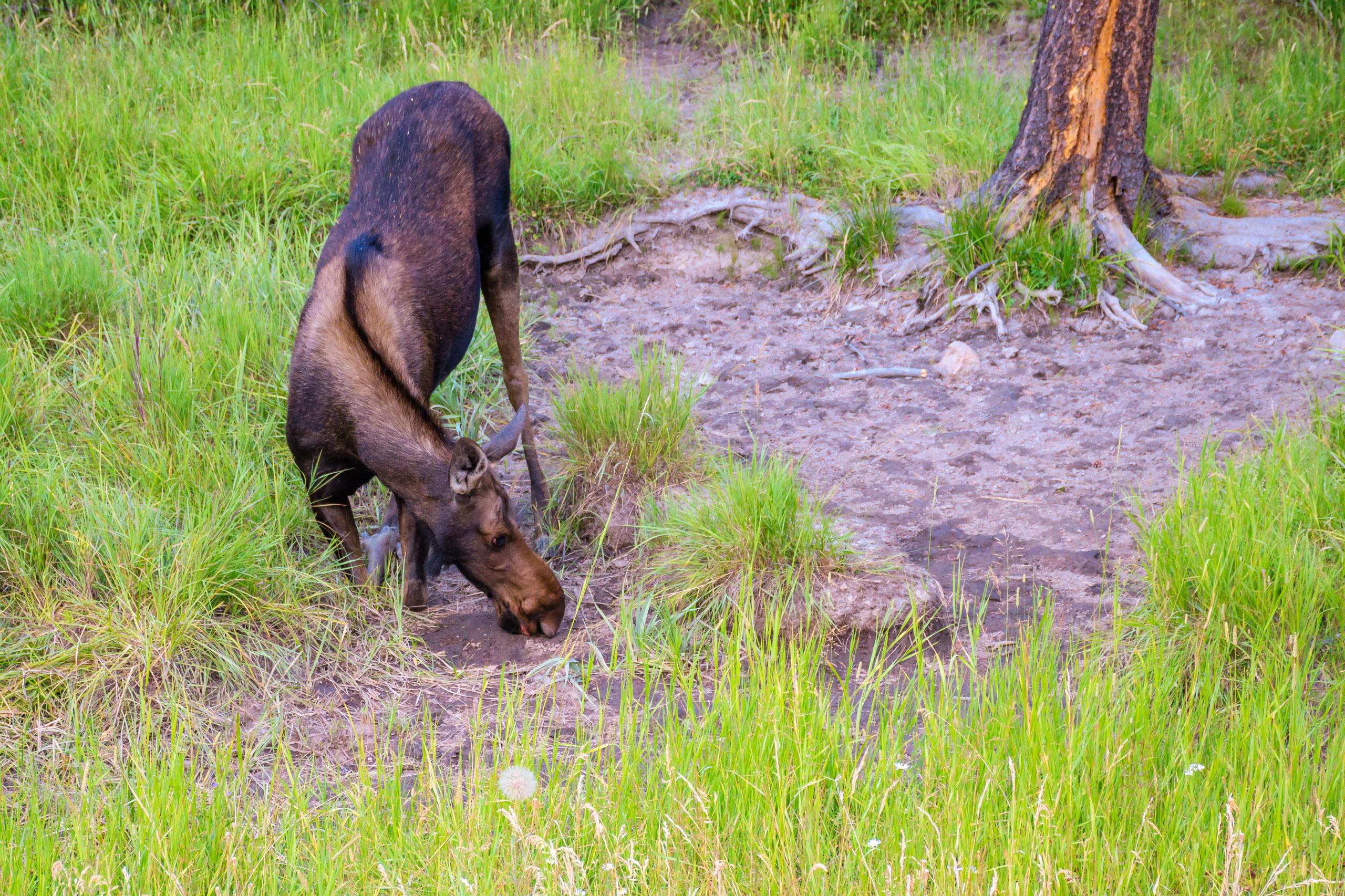 Cow Moose licking some salt