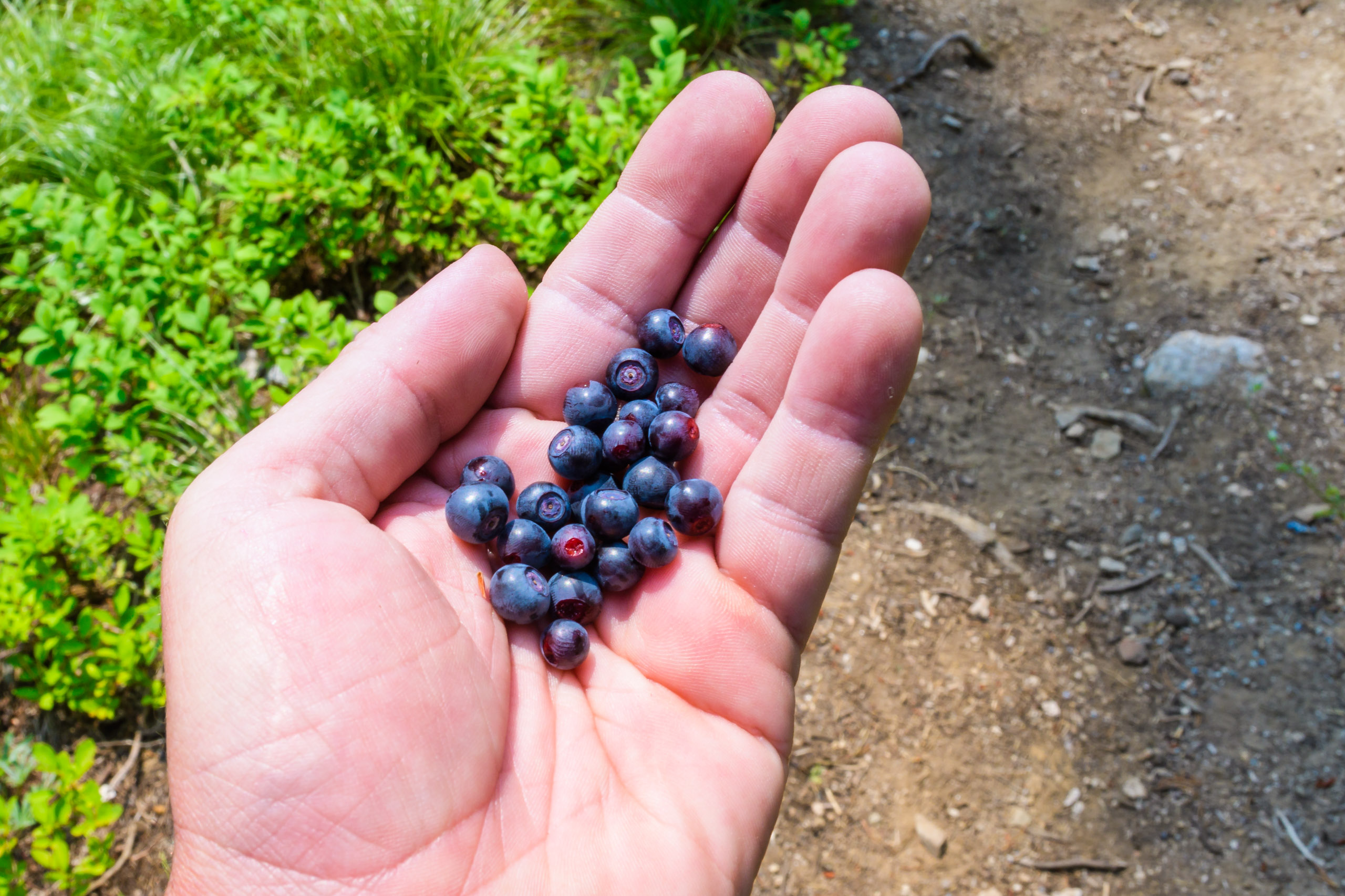 Huckleberries think in the hand